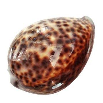 Tiger_Cowry_seashells